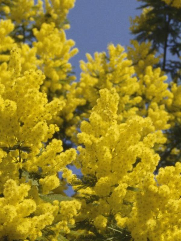 Žuta groznica: sedam najlepših mirisa sa notama mimoze